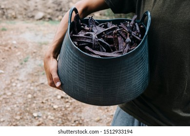 closeup of a young caucasian farmer man outdoors carrying a basket full of carob beans during the harvest