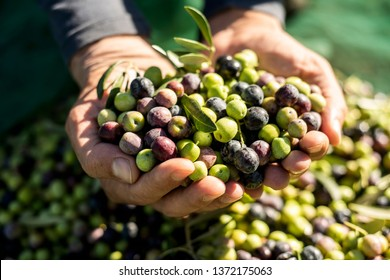 closeup of a young caucasian man with a pile of olives in his hands freshly collected during the harvesting in an olive grove in Catalonia, Spain