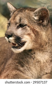 A close-up of a young cougar (puma concolor)