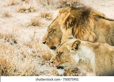 A close-up of a young couple in love lions, Africa. Shallow DOF.
