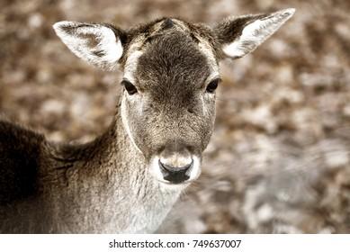 Close-up of young deer