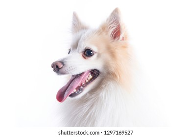 close-up of young dog  white and beige with a careful look