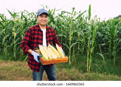 Closeup of young farmers harvesting corn during the agricultural season, increasing income
