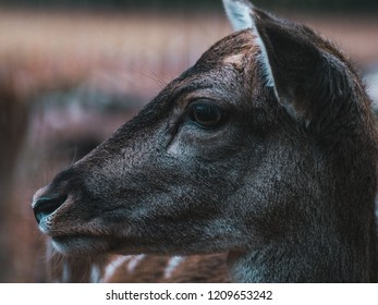 close-up of young female fellow deer
