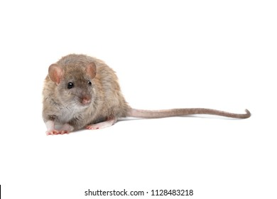 closeup young fluffy rat  (Rattus norvegicus) isolated on white background
