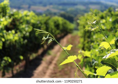 A closeup of young and fresh grapevine shoots with leaves and tendrils, in a vineyard, on a sunny summer day. Vivid colors in soft focus in the background.