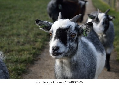 A close-up of a young goat's face