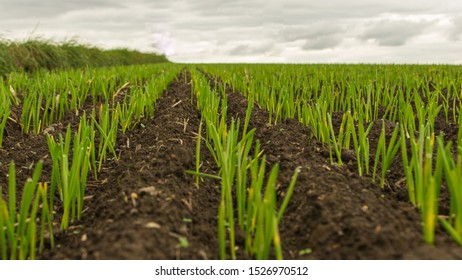 close-up of young grain plants on a field with shallow depth of field and selective focus