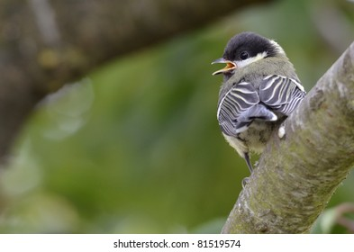Closeup of young great tit (Parus major) on branch, rear view