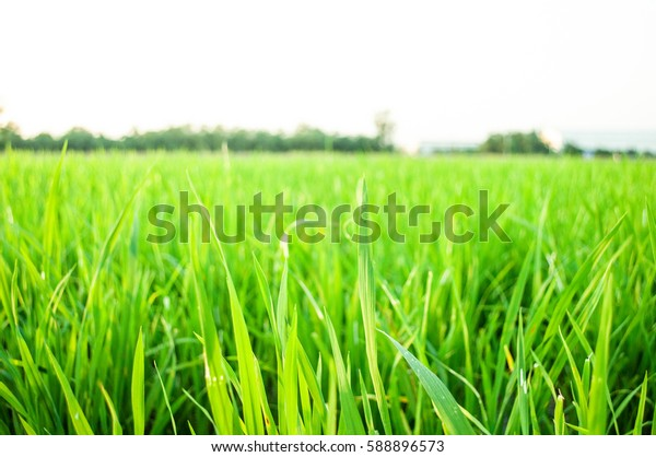 Close-up young green rice in the field