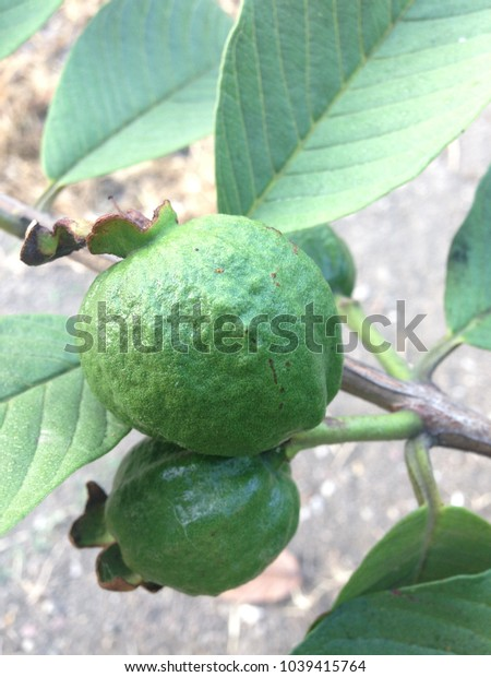 Closeup young guava on the tree