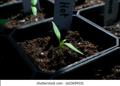 Closeup of young hot pepper plant sprout in small planter with potting soil