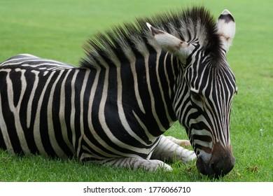 closeup-young-juvenile-wild-zebra-260nw-
