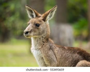 Closeup of a young kangaroo