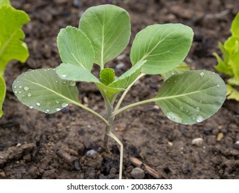 closeup of a young kohlrabi plant after rain