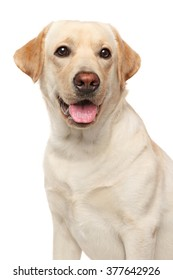 Close-up of young Labrador on isolated white background