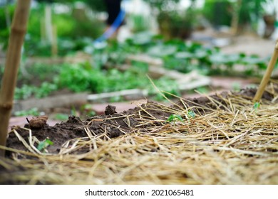 Closeup young little tree grows in the ground covered by the dried straw. with blurred plantation in background