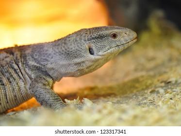 Closeup young lizard