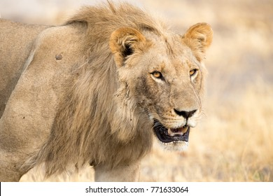 Close-up of a young male lion, Chobe national park Botswana