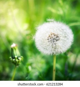 Closeup from young and old dandelion with bright background
