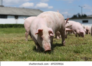 Closeup of young piglet on green background at pig farm