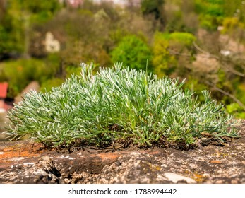 Close-up of young Sagebrush - Artemisia sp. div.- plant growing on top of a stone wall