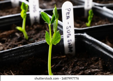 Closeup of young sugar snap pea sprout growing in planter with potting soil and hand written label