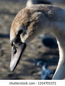 Closeup of a young swan cygnet