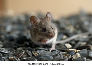 Closeup young wild mouse sits on pile of sunflower seeds in warehouse and looking away. Concept of fight with rodents.