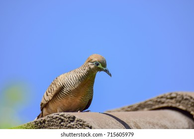 closeup of zebra dove with nature background