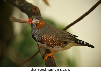 Closeup of zebra finch  with feather in its beak for building a nest, perched on the branch in the greenhouse in Latvia