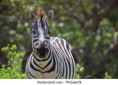 Closeup Zebra with forest background