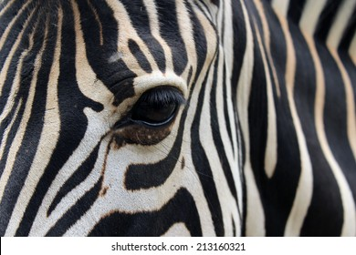 Close-up of zebra head and body