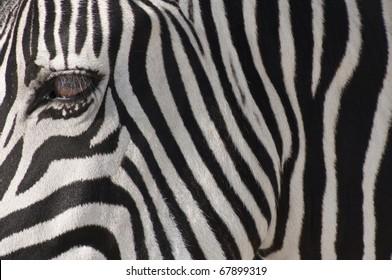 A closeup to a Zebra muzzle, Etosha, Namibia