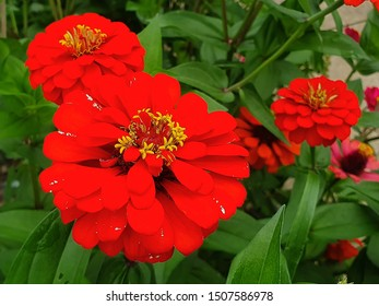 Close-up of a zinnia flower in the garden. Red Flowers