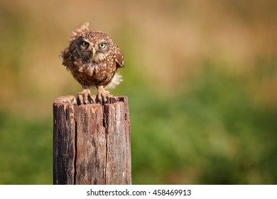 Close-up,isolated, wild adult Little owl, Athene noctua, perched on old trunk, staring directly at camera against colorful grassland in background. Front view, Hungary, Europe.