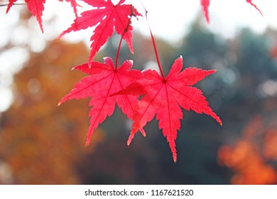 close-up.Japanese maple in colorful autumn leaves.