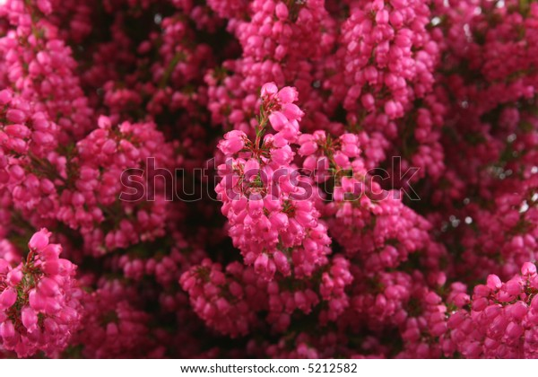 close-ups of bunch of heather