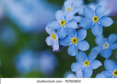 Closeups of forget me not plants.