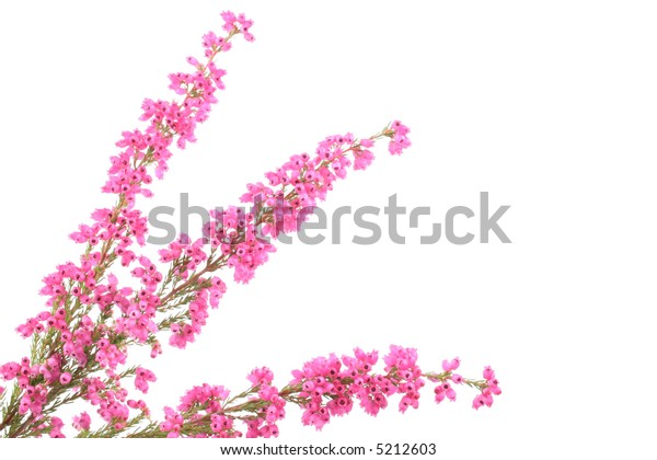 close-ups of heather isolated on white