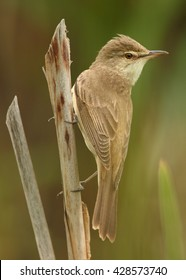 Close-up,vertical photo of isolated passerine Great Reed-Warbler, Acrocephalus arundinaceus, largest  European warbler perched on phragmite against blurred reed in background. Springtime, Europe.
