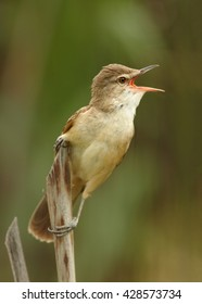 Close-up,vertical photo of singing passerine Great Reed-Warbler, Acrocephalus arundinaceus, isolated European warbler in its typical environment against blurred green background. Springtime, Europe.