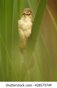 Close-up,vertical portrait of  Great Reed-Warbler, Acrocephalus arundinaceus, isolated  European warbler in its typical environment against blurred reed in background. Springtime, Europe.