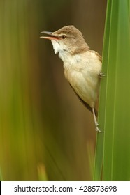 Close-up,vertical portrait of singing bird, Great Reed-Warbler, Acrocephalus arundinaceus, in beautiful composition, in its typical environment against blurred reed in background. Springtime, Europe.