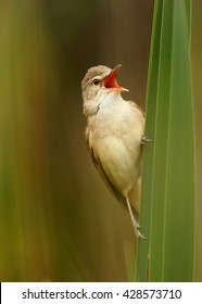 Close-up,vertical portrait of singing Great Reed-Warbler, Acrocephalus arundinaceus,singing in beautiful composition, in its typical environment against blurred reed in background. Springtime,Europe.