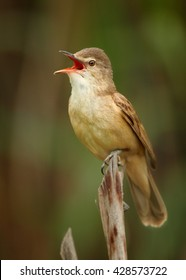 Close-up,vertical portrait of singing Great Reed-Warbler, Acrocephalus arundinaceus,singing in beautiful composition, in its typical environment against blurred phragmite in background. Springtime.