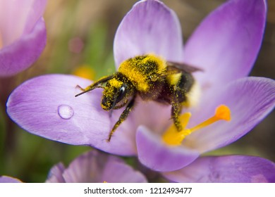 Closup of small bee on the small purple crocus