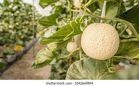 closw up of ripe melon in the greenhouse with copy space - Shutterstock ID 1042669894