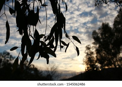 cloud filled late afternoon sky seen thru the silhouette of native Australian gum tree leaves on a farm in rural Australia