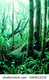 Cloud forest of El Yunque National Forest, dwarf forest and mist, Puerto Rico
